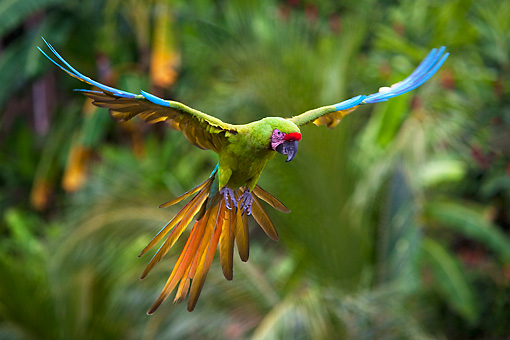 BRD 01 KH0033 01 © Kimball Stock Portrait Of Military Macaw In Flight