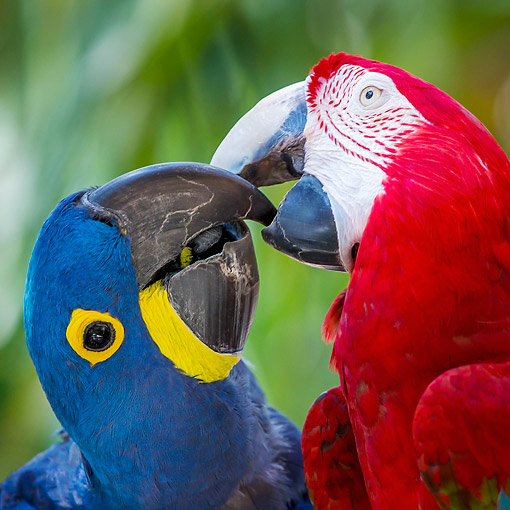 BRD 01 KH0036 01 © Kimball Stock Red And Green Macaw Playing With Hyacinth Macaw In South America