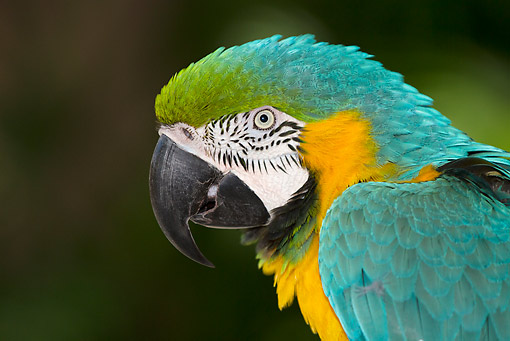 BRD 01 LS0014 01 © Kimball Stock Head Shot Of Blue And Gold Macaw