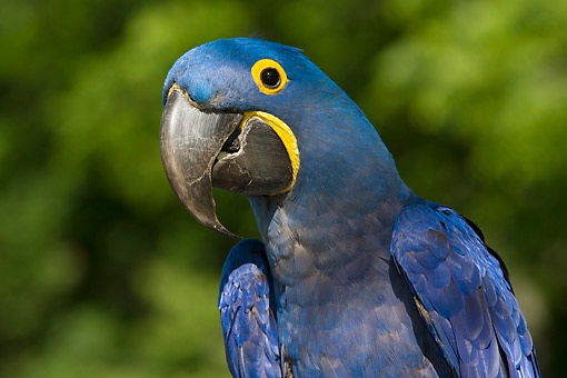 BRD 01 LS0020 01 © Kimball Stock Close-Up Of Hyacinth Macaw