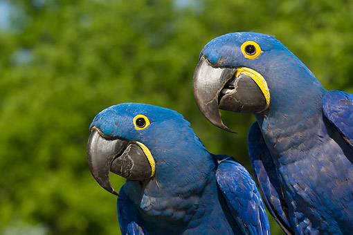 BRD 01 LS0021 01 © Kimball Stock Close-Up Of Two Hyacinth Macaws