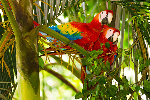 BRD 01 MC0001 01 © Kimball Stock Two Scarlet Macaws Perched On Tree Branch In Rainforest Costa Rica