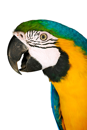 BRD 01 MH0001 01 © Kimball Stock Close Up Of Blue-And-Yellow Macaw In Studio