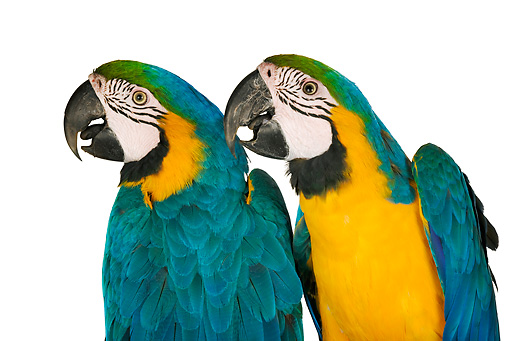 BRD 01 MH0002 01 © Kimball Stock Close Up Of Two Blue-And-Yellow Macaws In Studio