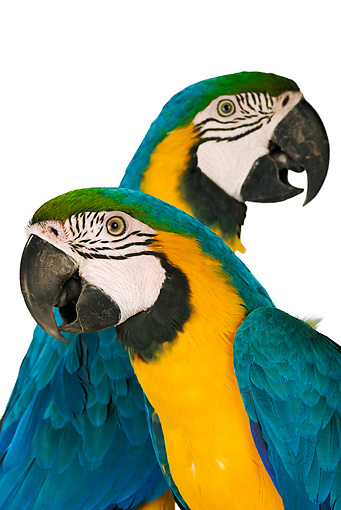 BRD 01 MH0003 01 © Kimball Stock Close Up Of Two Blue-And-Yellow Macaws In Studio