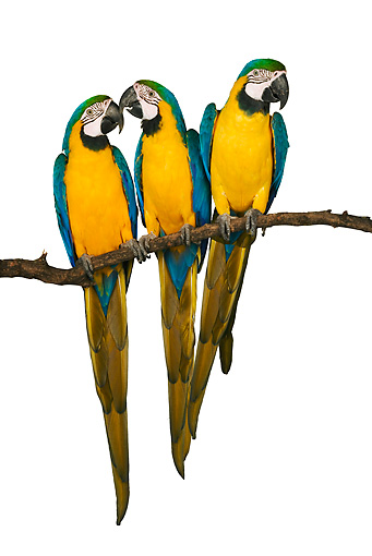 BRD 01 MH0004 01 © Kimball Stock Three Blue-And-Yellow Macaws Perching On Branch In Studio