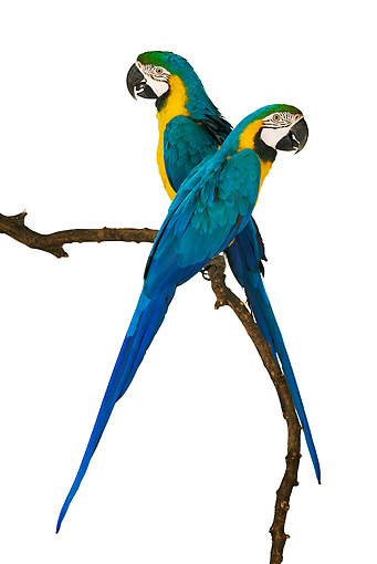 BRD 01 MH0005 01 © Kimball Stock Two Blue-And-Yellow Macaws Perching On Branch In Studio