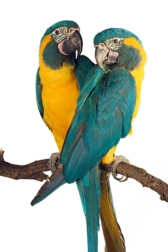 BRD 01 MH0006 01 © Kimball Stock Two Blue-Throated Macaws Perching On Branch In Studio