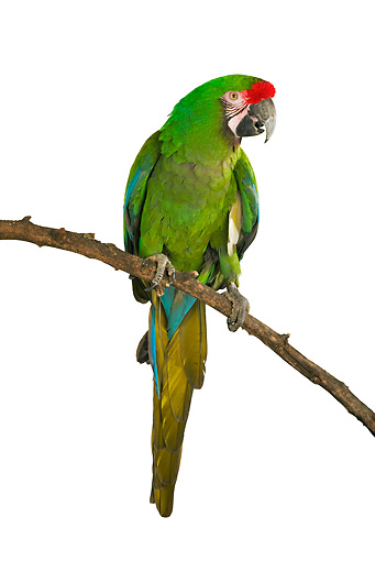BRD 01 MH0007 01 © Kimball Stock Military Macaw Perching On Branch In Studio