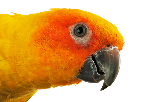 BRD 01 MH0008 01 © Kimball Stock Close Up Of Sun Conure Parrot In Studio