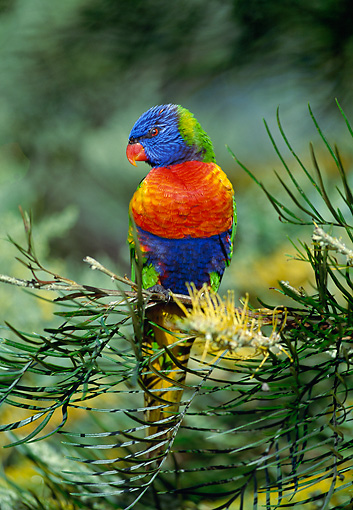 BRD 01 MH0014 01 © Kimball Stock Rainbow Lorikeet Perched On Tree Branch