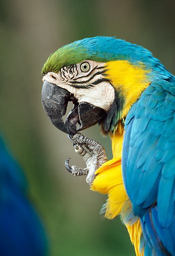 BRD 01 MH0018 01 © Kimball Stock Portrait Of Blue And Yellow Macaw Central America