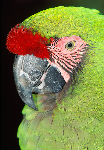 BRD 01 MH0019 01 © Kimball Stock Portrait Of Military Macaw In Black Studio