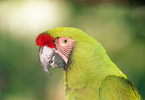 BRD 01 MH0020 01 © Kimball Stock Portrait Of Military Macaw South America
