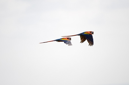 BRD 01 NE0001 01 © Kimball Stock Two Scarlet Macaws In Flight Costa Rica