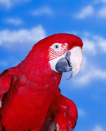 BRD 01 RK0002 04 © Kimball Stock Head Shot Of Green-Winged Macaw Cloudy Blue Sky