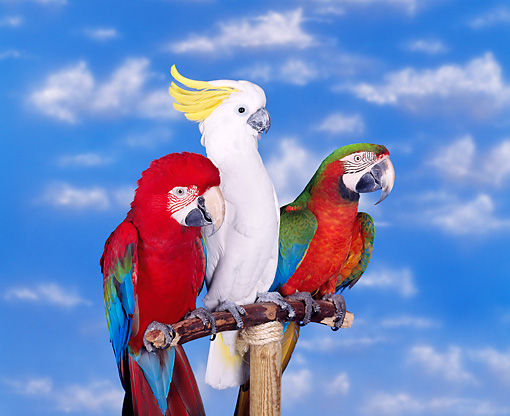 BRD 01 RK0006 06 © Kimball Stock Green-Winged And Hybrid Macaws And Cockatoo On Bird Stand
