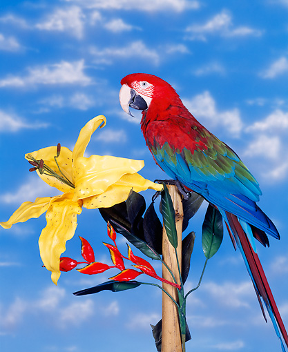 BRD 01 RK0010 05 © Kimball Stock Green Wing Macaw Sitting On Stand By Yellow Flower