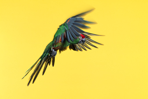 BRD 01 RK0025 03 © Kimball Stock Red-Fronted Macaw In Flight Yellow Seamless