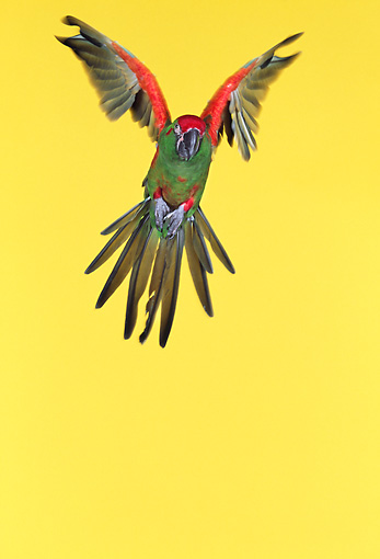 BRD 01 RK0025 29 © Kimball Stock Red-Fronted Macaw In Flight Yellow Seamless