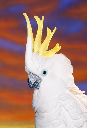 BRD 01 RK0034 06 © Kimball Stock Head Shot Of Triton Cockatoo Sunset Background