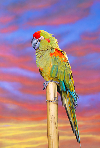 BRD 01 RK0036 03 © Kimball Stock Red-Fronted Macaw On Stand
