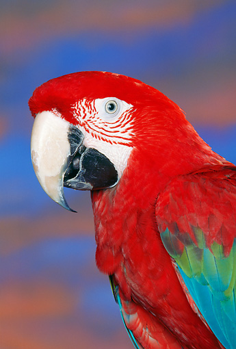BRD 01 RK0040 05 © Kimball Stock Head Shot Of Green-Winged Macaw