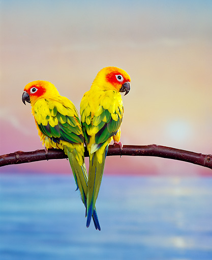 BRD 01 RK0050 09 © Kimball Stock Two Sun Conure Parrots Sitting On Branch