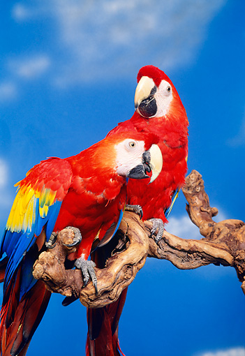 BRD 01 RK0052 07 © Kimball Stock Two Scarlet Macaws Sitting On Branch