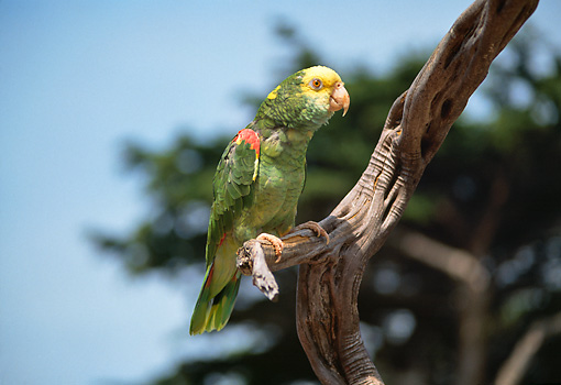 BRD 01 RK0059 05 © Kimball Stock Single Of Yellow Amazon Nape Parrot Sitting On Branch