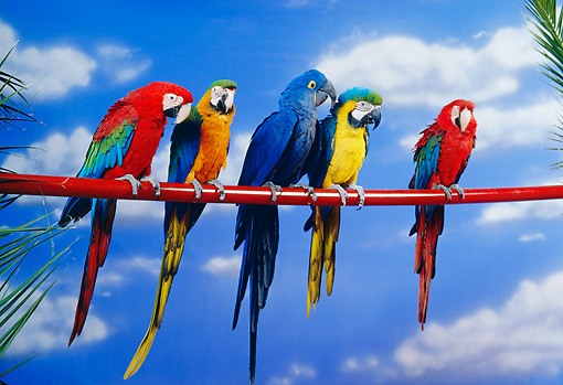 BRD 01 RK0074 31 © Kimball Stock A Flock Of Colorful Macaws On Red Pole Blue Sky