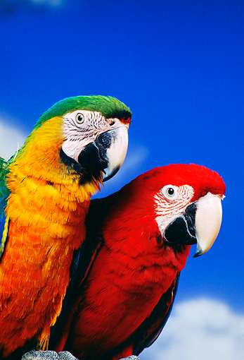 BRD 01 RK0075 11 © Kimball Stock Head Shots Of Colorful Macaws