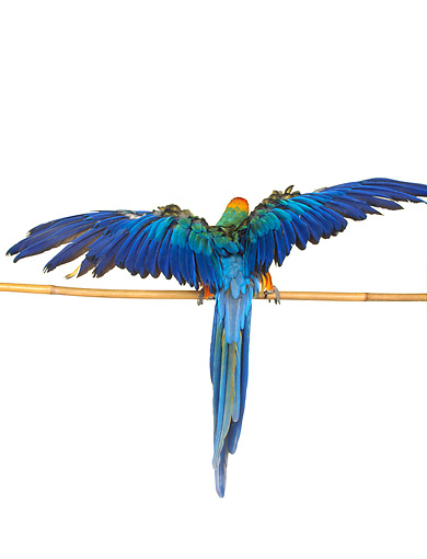 BRD 01 RK0078 01 © Kimball Stock Catalina Macaw On Pole