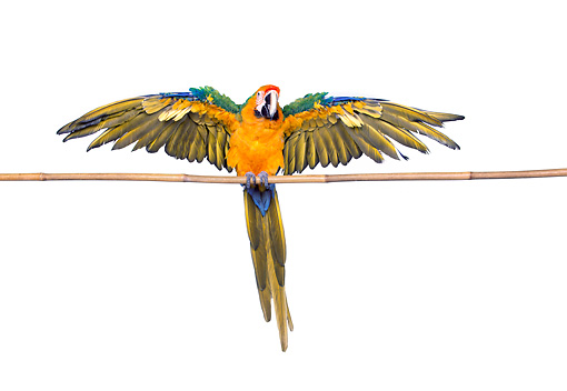 BRD 01 RK0079 02 © Kimball Stock Catalina Macaw On White Seamless