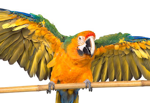 BRD 01 RK0080 03 © Kimball Stock Catalina Macaw On Pole White Seamless