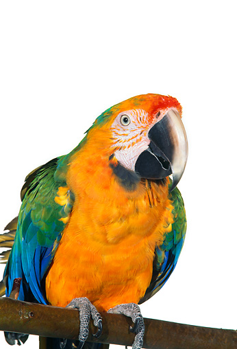 BRD 01 RK0081 04 © Kimball Stock Catalina Macaw Sitting On Branch White Seamless