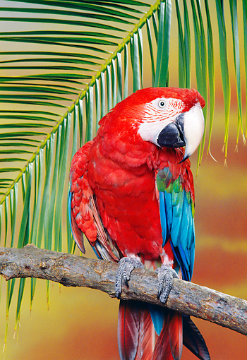 BRD 01 RK0103 06 © Kimball Stock Green-Winged Macaw Sitting On Branch By Leaf