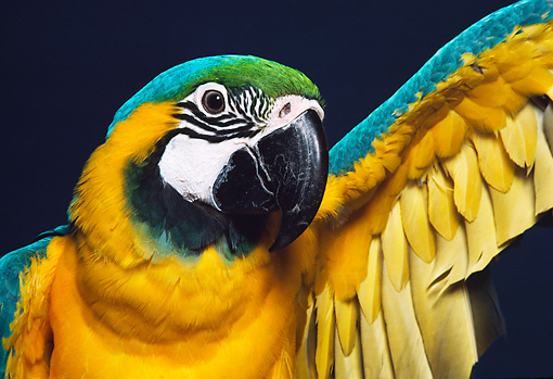 BRD 01 RK0123 19 © Kimball Stock Head Shot Of Multi Color Macaw Blue Background
