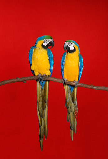 BRD 01 RK0124 05 © Kimball Stock Two Blue And Gold Macaws Sitting On Branch