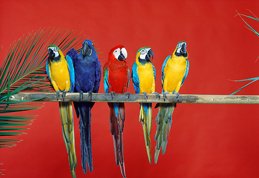 BRD 01 RK0128 21 © Kimball Stock A Group Of Macaws Sitting On Pole