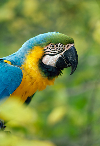 BRD 01 RK0162 01 © Kimball Stock Head Shot Of Yellow And Blue Macaw Trees Background