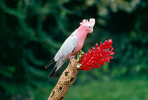 BRD 01 RK0176 03 © Kimball Stock Rose-Breasted Cockatoo Sitting On Branch With Red Flower