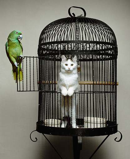 BRD 01 RK0178 01 © Kimball Stock Parrot With Cat Sitting Inside Bird Cage