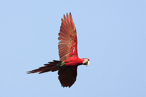 BRD 01 WF0001 01 © Kimball Stock Green-Winged Macaw In Flight