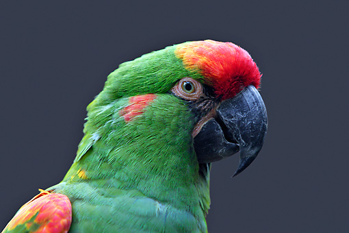 BRD 01 WF0002 01 © Kimball Stock Head Shot Of Red-Fronted Macaw