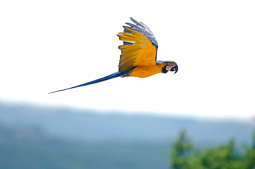BRD 01 WF0003 01 © Kimball Stock Blue-And-Yellow Macaw Flying Through Jungle
