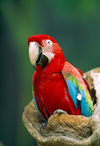 BRD 01 WF0006 01 © Kimball Stock Red And Green Macaw Sitting On Stump