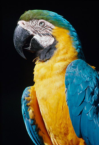 BRD 01 GR0001 01 © Kimball Stock Close-Up Of Blue And Gold Macaw