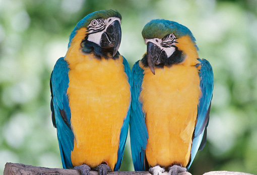 BRD 01 GR0002 01 © Kimball Stock Two Blue And Gold Macaws Perching On Branch