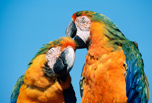 BRD 01 GR0003 01 © Kimball Stock Close-Up Of Two Catalina Macaws Preening